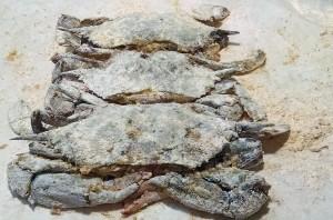 Dredged Soft Crab